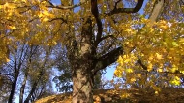 Autumn golden maple in park and camera rotate — Stock Video