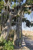 Big banyan tree in Jaipur — Stock Photo