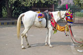 Riding white horse ir Agra , India — Stock Photo