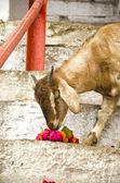 Geten äta blommor i varanasi, Indien — Stockfoto