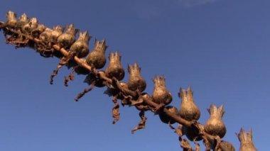 Henbane Hyoscyamus niger seeds boxes in wind — Stock Video