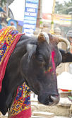 Sacred cow in Varanasi street, India — Stock Photo