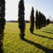 Stock Photo: Landscape with evergreen tree thuja