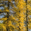 Golden autumn time larch background — Stock Photo