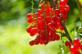 Redcurrant (Ribes rubrum) berry bunch — Stock Photo