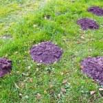 Molehills on green grass in autumn garden — Stock Photo #20174863