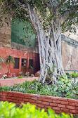 Banyan-Baum im Garten von Agra, Indien — Stockfoto
