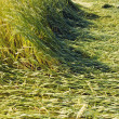 Stock Photo: Summer wheat field in farm after storm
