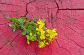 Common St. Johnswort flower ( tutsan ) on red wooden background — Stock Photo