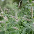 Blossoming mint (Mentha) herbs and summer wind — Stock Video