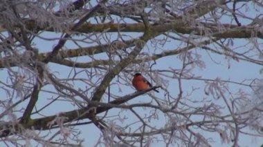 Red bullfinch (Pyrrhula pyrrhula) on frosty branch — Stock Video