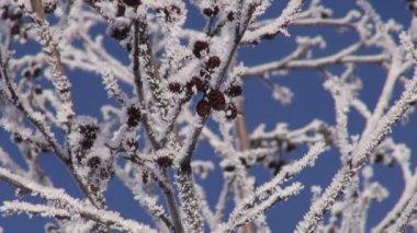 Beautiful hoarfrost on alder (Alnus incana) tree and sky — Stock Video