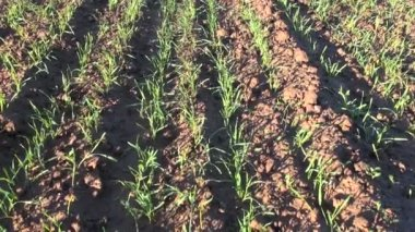 Green crop sprouts on field and spring wind — Stockvideo