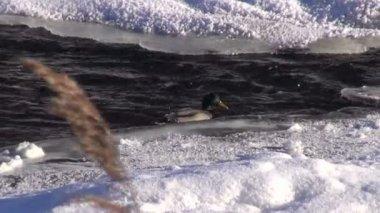 Duck (Anas platyrynchos) on winter river water — Stock Video