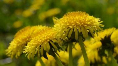 Dandelion (Taraxacum officinale) flowers in spring wind — Stock Video