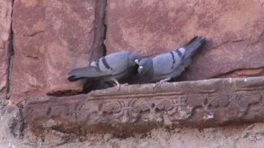 Two pigeons on old indian wall decoration — Stok video