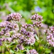 Pink flowers of wild marjoram, origanum vulgare — Stock Photo #21968347