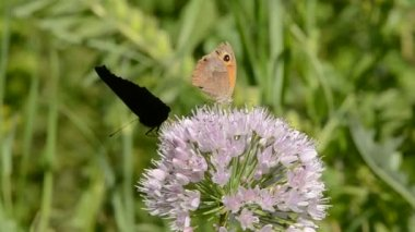 Butterfly on garlic blossom in garden — Stock Video