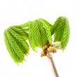 Fresh spring conker new leaves with branch isolated — Stock Photo