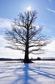 One oak on snowy winter field — Stock Photo