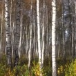 ストックビデオ: Beautiful autumn birch forest background