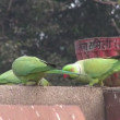 Green parrots on park fence in India - Stock Photo