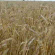 Summer  wheat field and wind — Stock Video