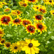 Rudbeckia black-eyed flowers in farm garden — Stock Photo #23557693