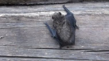 Bat species (Eptesicus nilssonii) on old house wooden wall — Stock Video