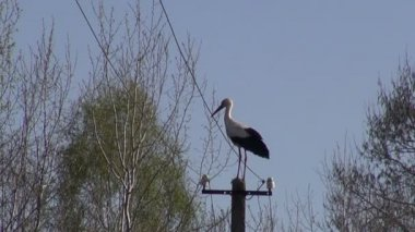 White stork (Ciconia ciconia) on electric pole — Stock Video