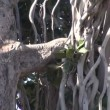 Banyan tree in Jaipur fort, Rajasthan,India — Stock Video