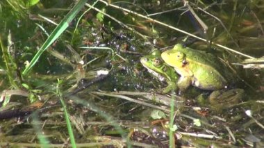 Pair Little Water Frog( Rana lessonae) in spring pond — Stock Video
