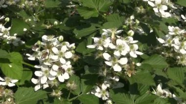 Blackberry white blossoms in wind and bee — Stock Video
