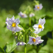 Summer time potato blossoms on farm field — Stock Photo
