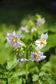 Summer time potato blossoms on farm field — Stock Photo