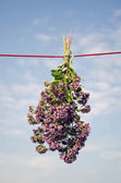 Fresh wild marjoram flowers bunch on clothes string — Stock Photo