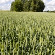 Stock Photo: Green fresh midsummer wheat field