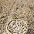 Stock Photo: Wheat ears in wicker plate on farm field after harvesting