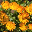 Calendula medical herb Marigold flowers in the meadow — Stock Photo