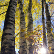 Autumn time forest birches and sunlight — Stock Photo