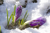Purple crocuses flowers through snow — Foto Stock