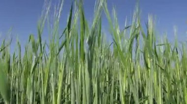 Fresh young midsummer barley ears on sky background — Stock Video