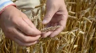 Farmers hand looking at wheat ready to harvest — Stockvideo