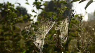 Summer end  dewy spider webs and wind — Vidéo