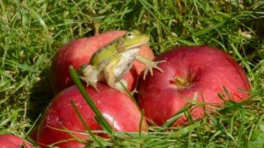 Dierlijke groene kikker op rode appel in de zomertuin — Stockvideo
