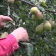 Farmer hands picking ripe fresh pears from tree — Stock Video