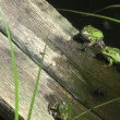 Green frogs in pond on  plank — Stock Video