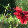 Bumblebee  - nectar picker on red  dahlia — Stock Video