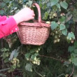 Picking fresh hop cones in garden — Stock Video