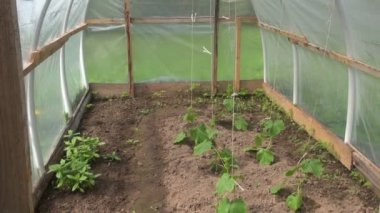 Spring cucumber seedling sprouts in plastic greenhouse — Stock Video
